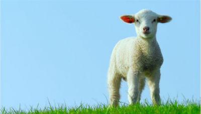 Língua azul ou febre catarral ovina: saúde pública