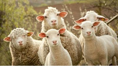 Ovinos e Caprinos | Declaração de existência