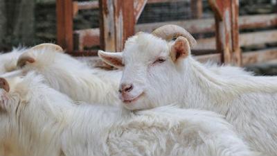 Febre catarral ovina: esclarecimento de saúde pública